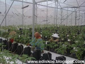 hidroponik tomat
