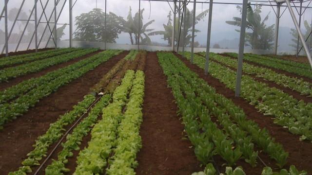 greenhouse lettuce cianjur